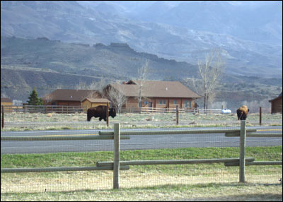 Buffalo in the Wapiti Valley of Wyoming